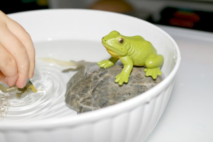 preschooler playing with frog life cycle figurines in bowl of water